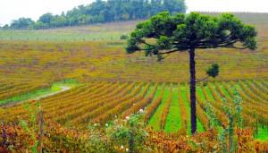 bento-goncalves-vinicola-miolo-divulgacao-cvc-4-
